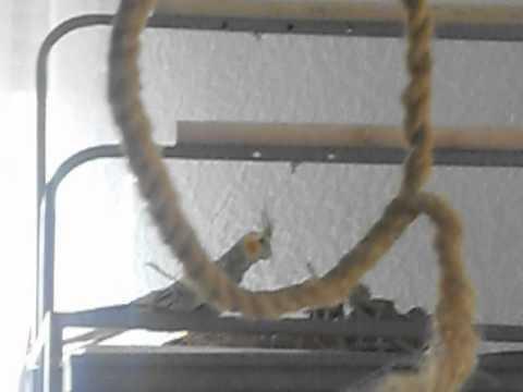 12.10.2012 Handzahme Sittiche Nymphensittiche Junge und Ältere Papagei